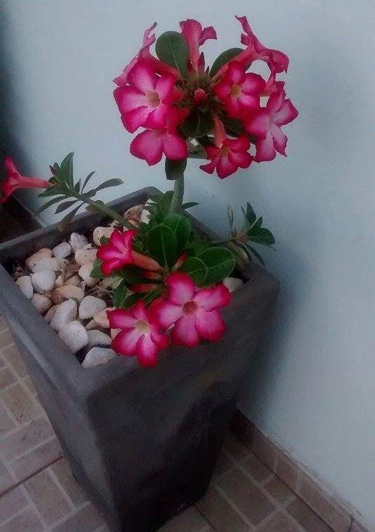 rosa do deserto 10532565_1000128483400429_5676667298810761718_n.jpg (536×761)