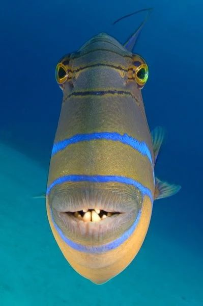 Nice teeth of the potentially dangerous trigger fish (can be agressive when protecting his nest)