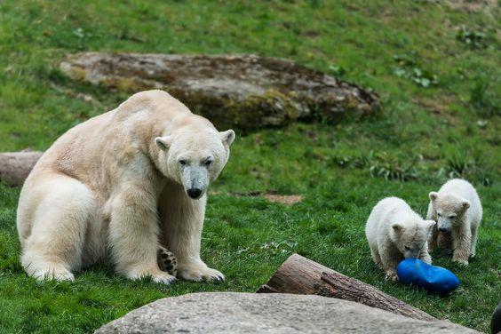 Eisbären, Tierpark Hellabrunn
