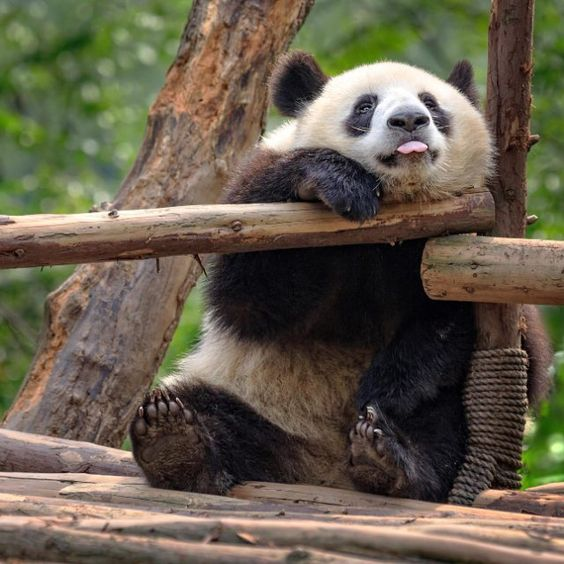 Доброе утро! ) #animals #instaanimals #животные #милота #funny #happy #animal #like #follow #панда #панды #panda