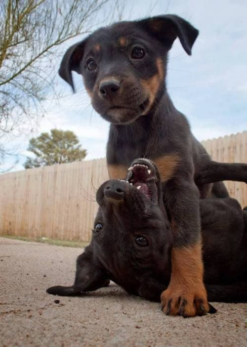 Puppies At Play Rottweiler Puppies Cute Dogs Cute Animals