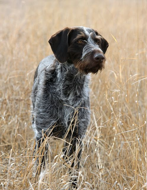 Pointing Dog Blog: The Deutsch Drahthaar/German Wirehaired Pointer