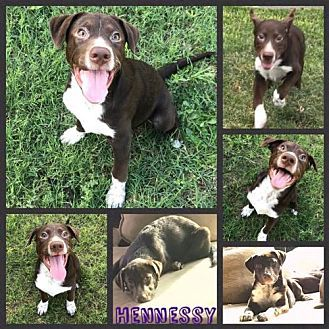 Pictures Of Hennessy A Pointer For Adoption In New York Ny Who Needs A Loving Home Dog Adoption Adoption Dogs