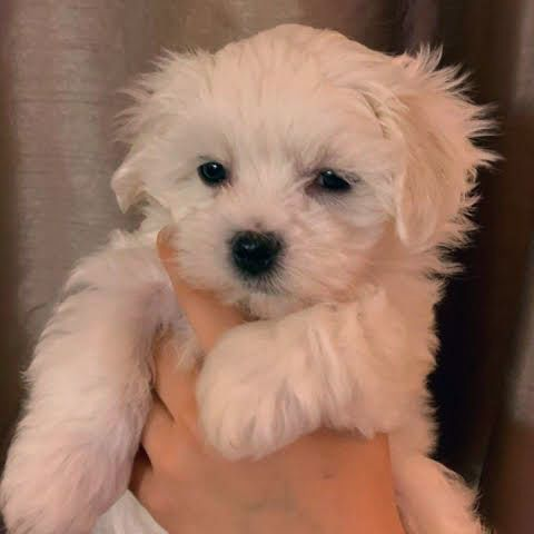 Cathys Maltese Teacup Apricot Maltipoo Maltese Puppy For Sale Apricot Maltipoo Breeder Pu In 2020 Maltese Puppies For Sale Teacup Puppies Maltese Maltese Puppy