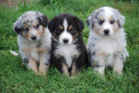Australian Shepherd puppies.
