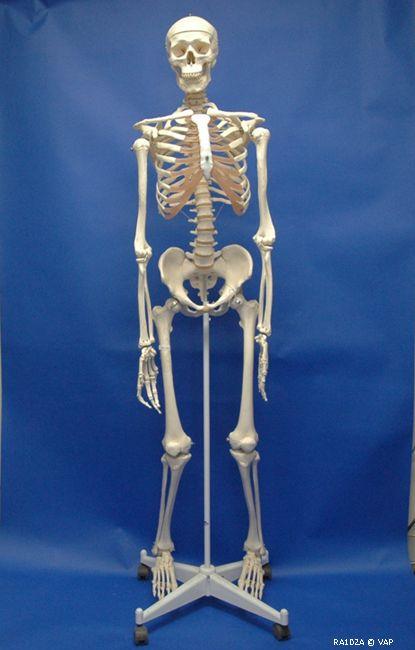 Human Adult 119