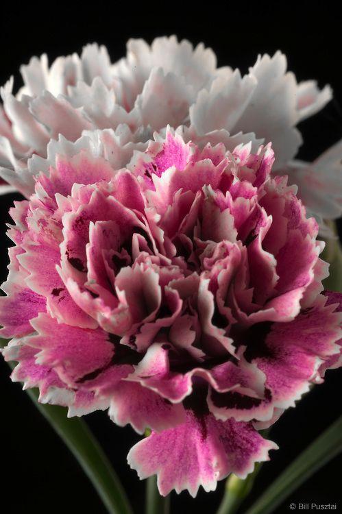 dianthus caryophyllus 39 super trouper velvet and white 39 stunning carnation dianthus flowers. Black Bedroom Furniture Sets. Home Design Ideas