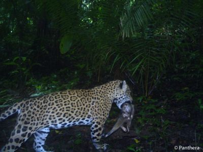 Our pic of the day shows a jaguar carrying what looks to for Jaguar house music