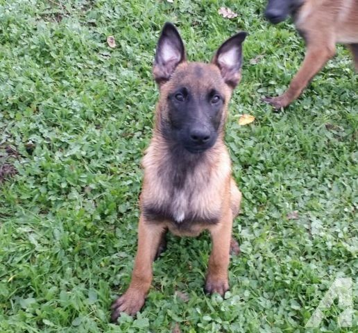 Purebred Belgian Malinois Puppies Belgian Malinois Puppies