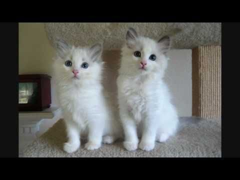 Rag Doll Cat Kittens Blue Bicolor Ragdoll Kittens 9 Weeks Old Youtube In 2020 Ragdoll Kitten Ragdoll Cat