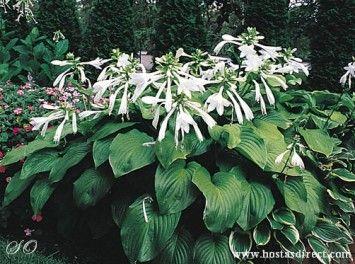 Hosta 'plantaginea' from hostasdirect website. Looks like excellent source for hostas and coral bells