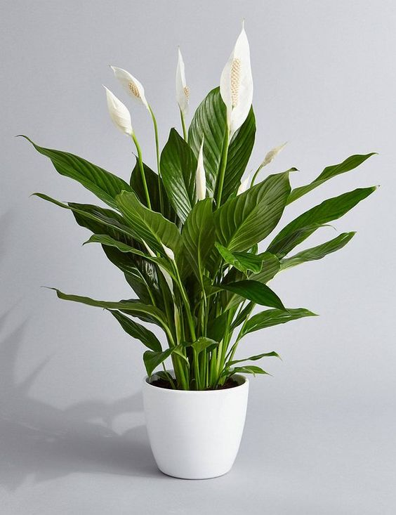 small indoor plants, best indoor plants, peace lily