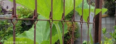Vertical Gardening: Growing UP & Making Cool Trellises from Living Homegrown