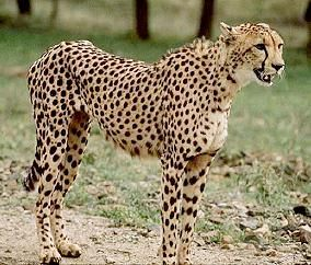 Asiatic cheetahs are facing extinction due to habitat degradation and illegal poaching. Demand stronger regulations to ensure that hunting and improper gun licensing do not continue to threaten the survival of these majestic creatures.