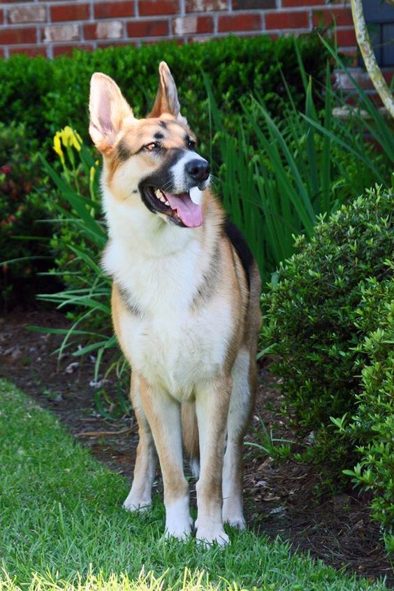 Our Panda German Shepherd, Koda ~SR | My Pets | Pinterest ...