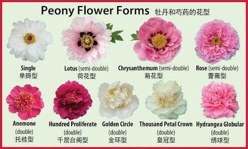 Varieties of Peony