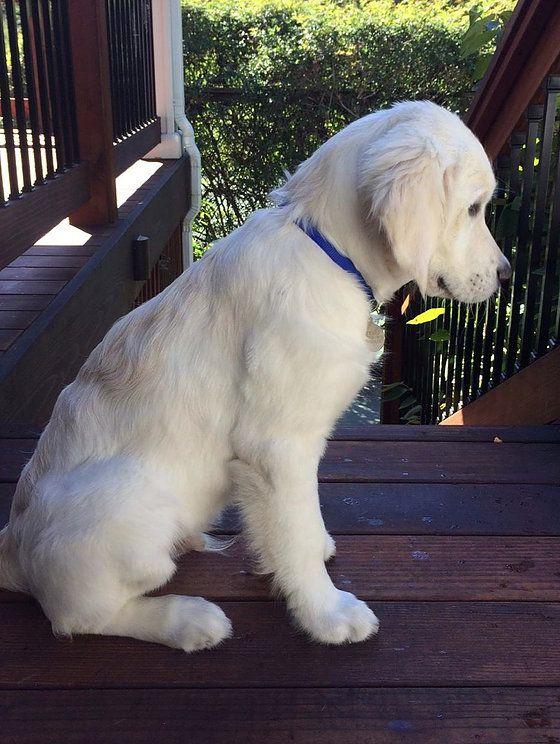 Our English Cream Golden Retriever Puppy In Spokane English