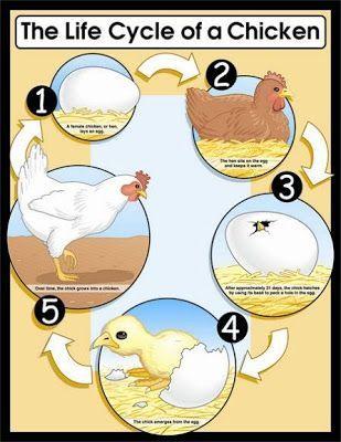 Az életciklus egy csirke | learningenglish-ESL