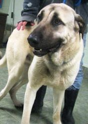 AR Thunder is an adoptable Anatolian Shepherd Dog in Little Rock, AR. 'THUNDER' LITTLE ROCK ARKANSAS Thunder is a spectacular one year old Anatolian Shepherd who already weighs 99Lbs. Thunder was resc...