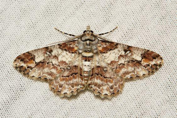Geometrid Moth (Cleora sp., Ennominae, Geometridae)