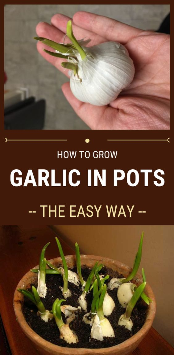How To Grow Garlic In Pots – The Easy Way #garlic #pot #grow-garlic