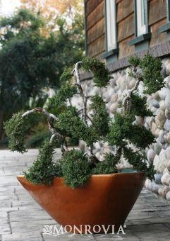 Dwarf Japanese Garden Juniper (Juniperus procumbens Nana) - Monrovia - Dwarf Japanese Garden Juniper (Juniperus procumbens Nana)