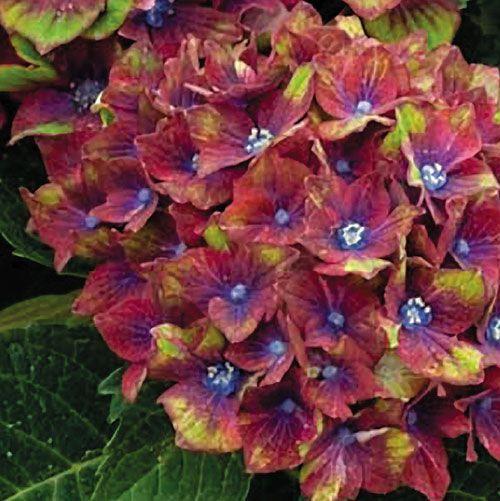 Pistachio hydrangea has really unique coloring
