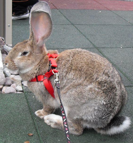 F Giant Rabbit Flemish giants, Flemis...