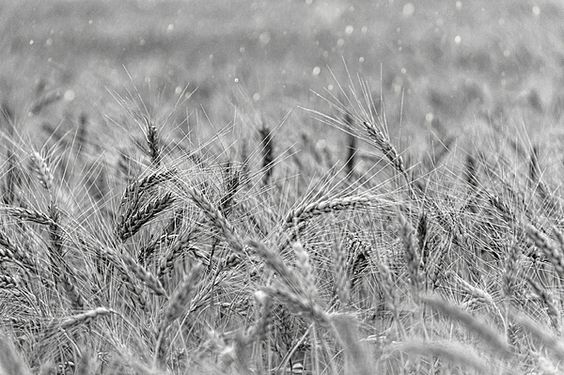 Wheat Black And White Photograph by Jean Francois Gil
