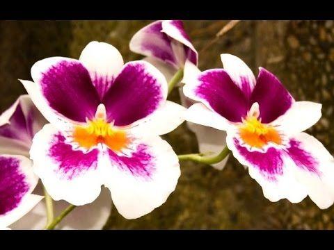 Foto Bunga Anggrek Hd Bunga Teratai Bunga Anggrek Bunga Melati Bunga Sakura Bunga Sepatu Bunga Raflesia Disini Ada Beberapa Wall Di 2020 Bunga Anggrek Bunga Teratai