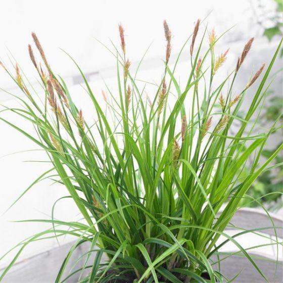 Evercolor Everlime Variegated Sedge Grass Large Plants Invasive Plants Deer Resistant Plants