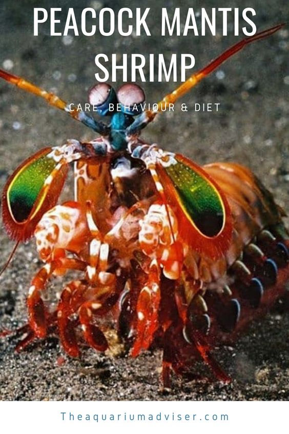 Peacock Mantis Shrimp In 2020 Mantis Shrimp Fish Care Shrimp Tank