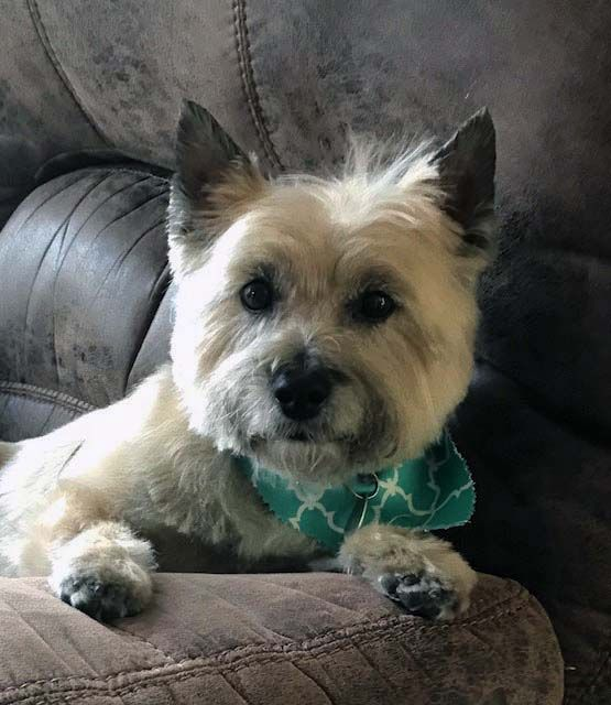 Looking For A Man To Cuddle With Terrier Rescue Cairn Terrier