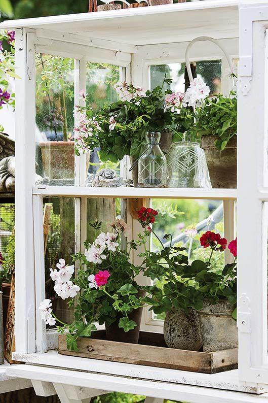 Szklarnia Dla Pelargonii Ze Starych Okien Pelargonie Kwiaty Dekoracjekwiatowe Dekoracjezkwiatow Ogrod Dekoracjedoogrodu Flo Garden Trees Flowers Plants
