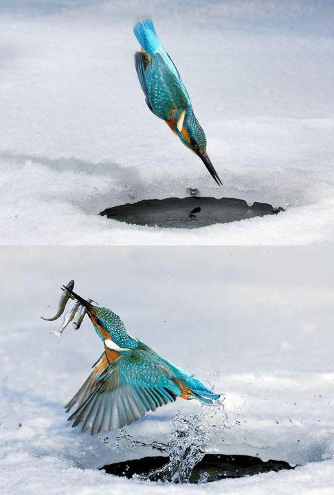 Kingfisher: