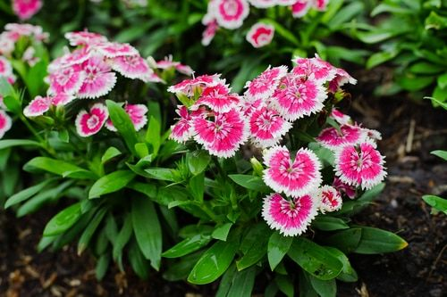 Sweet William Plants Dianthus Barbatus Sweet William Thrives In Fertile Moist Well Drained Soil Sweet Willia Hummingbird Plants Sweet William Phlox Plant
