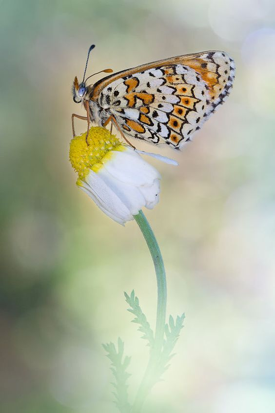 Melitaea Didyma by Carlos  Barriuso on 500px