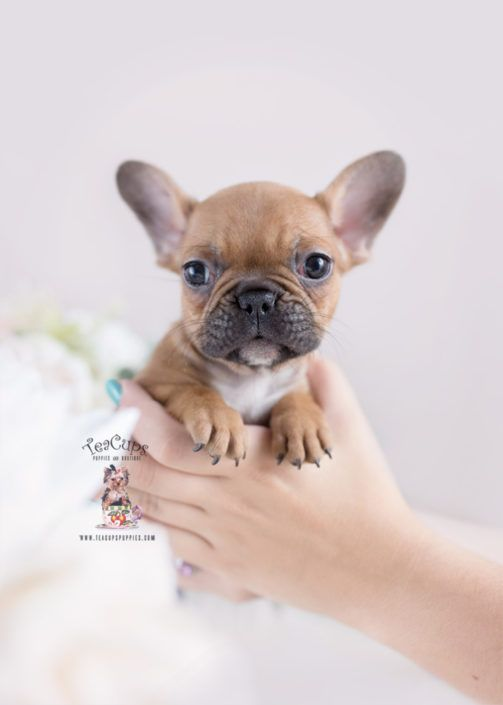 Frenchie Puppy For Sale Teacup Puppies Florida 293 B Frenchie