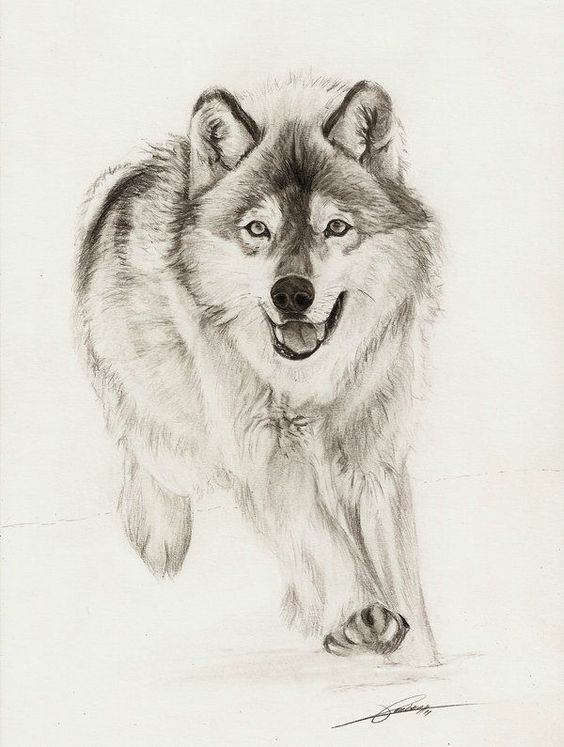 Running Wolf Sketch By ambr0 On Deviantart Drawing