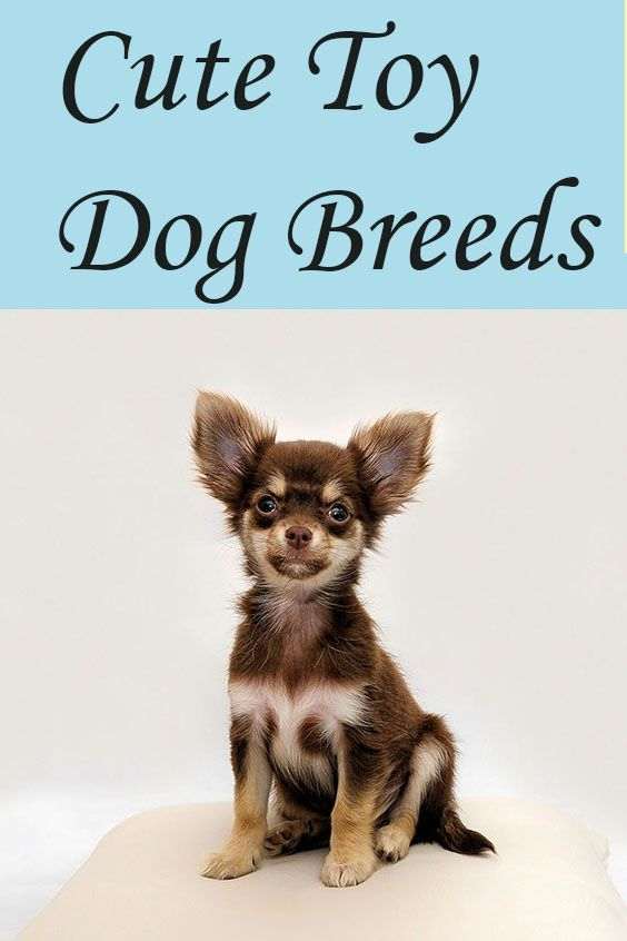 Toy Breeds Are Toy Breeds Of Dogs Toy Breeds Puppies Some Of The