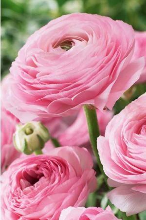 20 renoncules roses en ligne (ranunculus) - Willemse