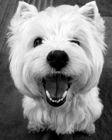 Sweet laughing Westie: