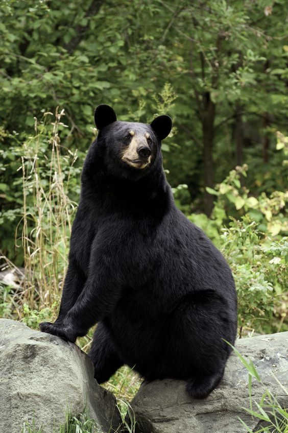 Black bear sitting on a rock