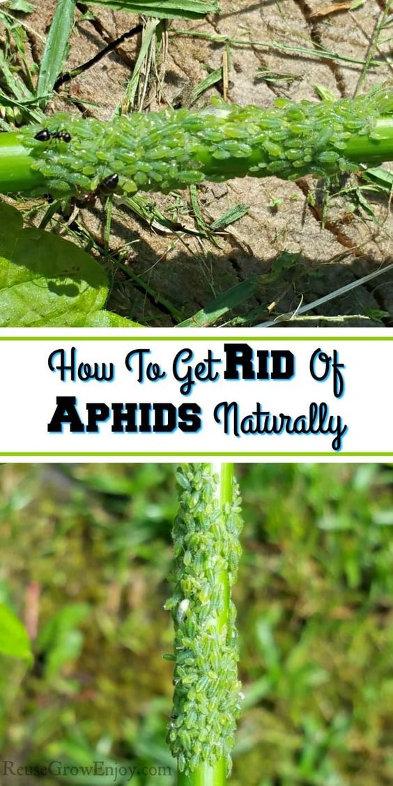 Have Aphids Taking Over Your Garden Yard And Wondering How To Naturally Take Care Of Them Check Out These Tips On Ho Get Rid Of Aphids Aphids Aphids On Plants