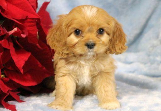 Cavachon Puppy For Sale In Mount Joy Pa Adn 58219 On Puppyfinder