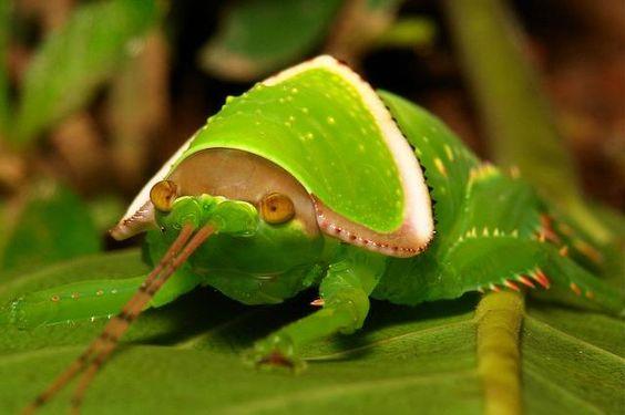 Giant False Leaf Katydid Nymph (Pseudophyllus titan, Pseudophyllinae, Tettigoniidae) |