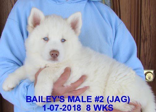 Litter Of 9 Siberian Husky Puppies For Sale In Manilla Ia Adn