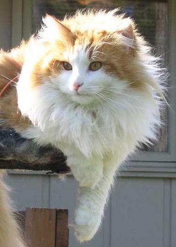 pretty orange tabby and white norwegian forest cat cat