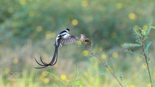 Pin tailed Whydah by AndyFu http://ift.tt/1RNuuj8