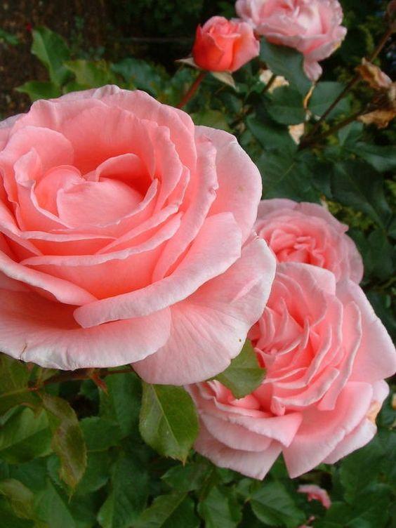 (Maccolumb). Hybrid Tea. Salmon pink flowers borne in clusters on a healthy bush. Fragrant. 1995.